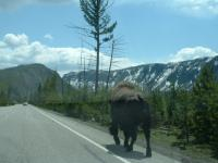 Buffel in Yellowstone Park, USA.